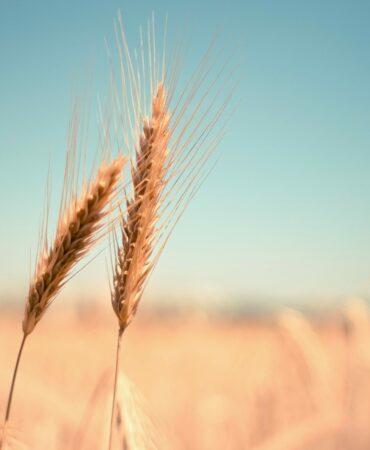 wheat OMGJORD